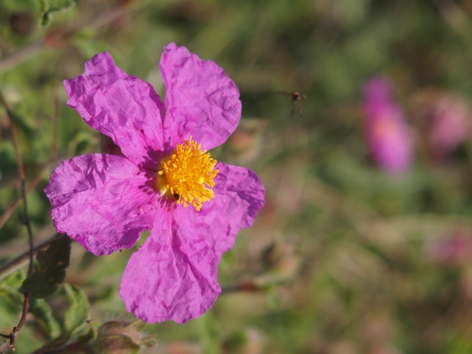 Rock rose. Note the bee on his final descent.